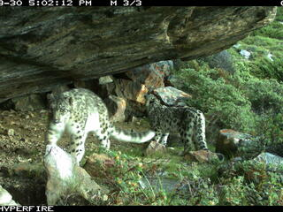Two snow leopards caught on a camera trap