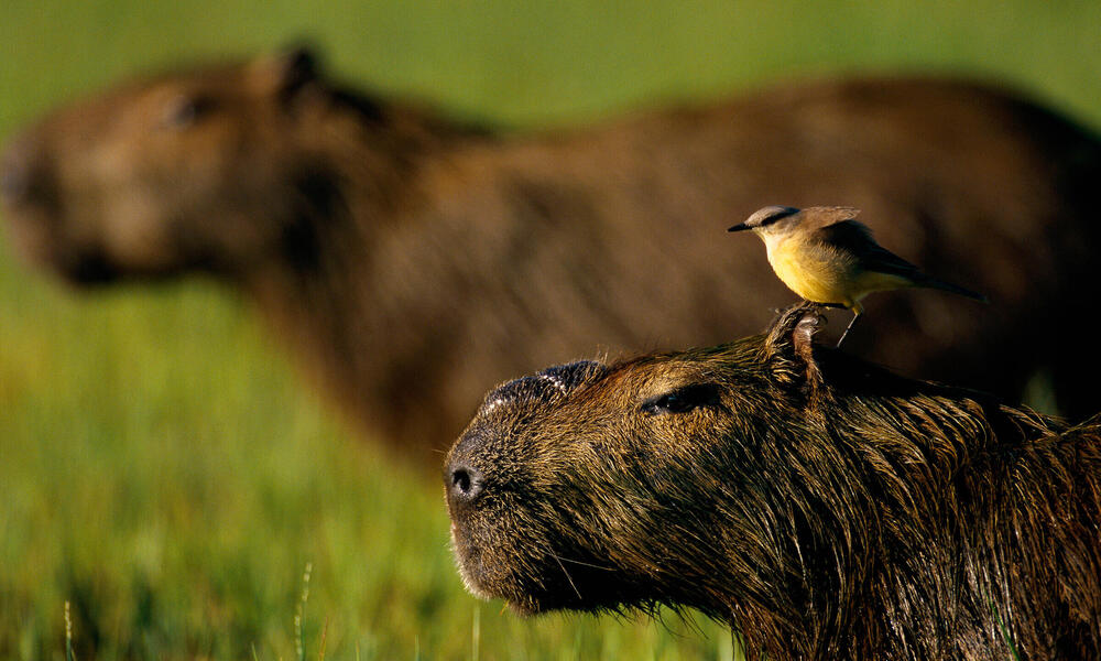 Capybara with a bird on its head