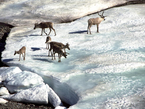 A group of caribou stand on an icy patch near a water source in Alaska