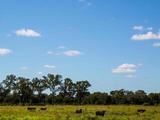 Cattle at Medias Leguas ranch in Castelli, Chaco region, northern Argentina