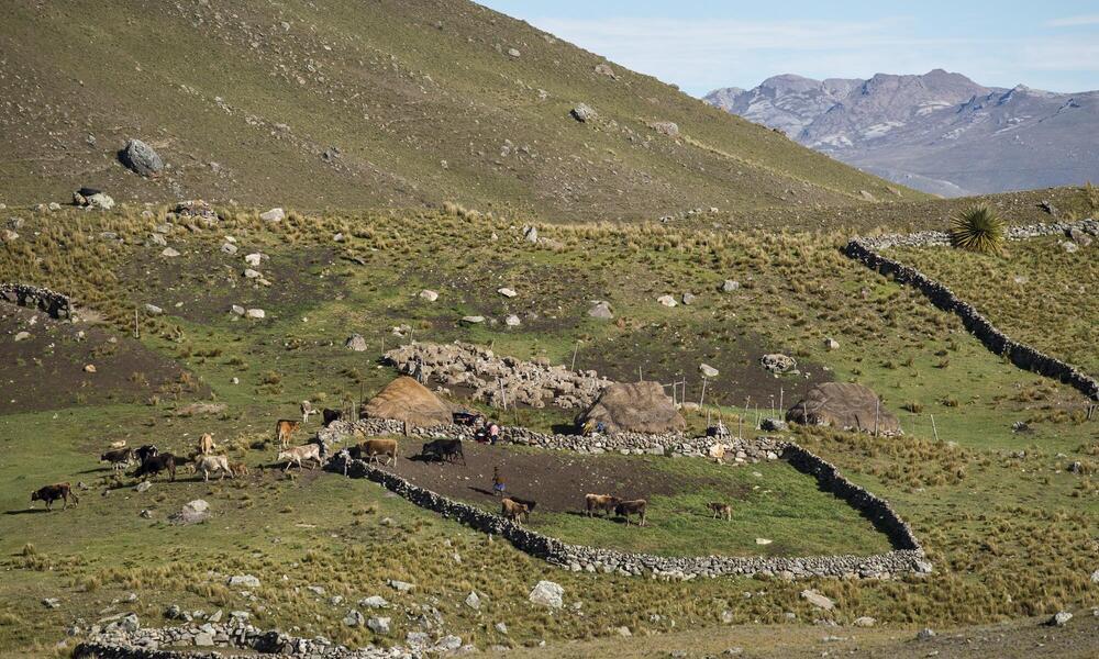 Cattle grazing, Peru