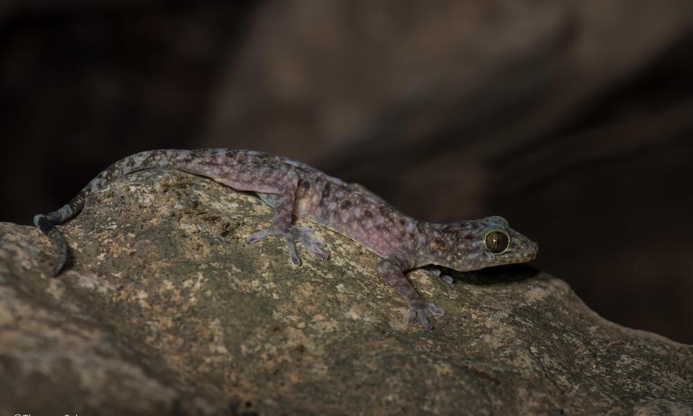 A cave-dwelling gecko