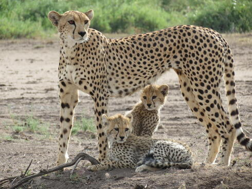 Cheetah stands over two cubs. One cub is sitting in front of the other cub who is sitting.