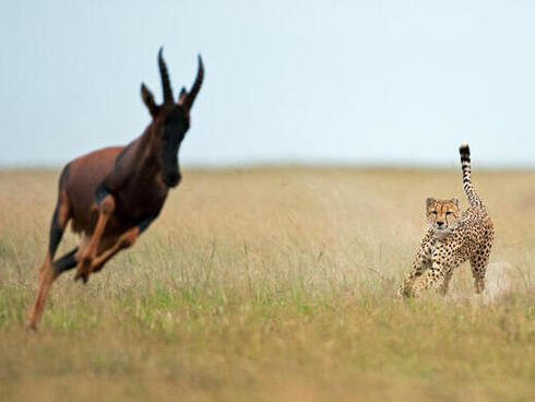 A dynamic photo of a hunt, with the cheetah chasing a Topi towards the camera in the Maasai Mara National Reserve.