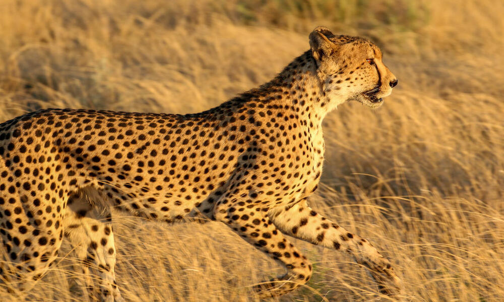 A cheetah, standing in tall, golden grasses of the Kalahari, prepares to run.