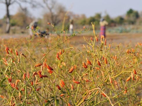 Chilli patch in Zambia
