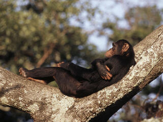 Pan troglodytes Chimpanzee A male resting in the winter sun on a tree Chimfunshi Chimpanzee Orphanage, Zambia