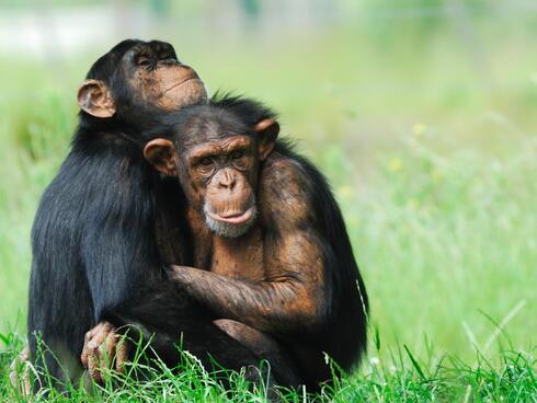 chimpanzees hugging