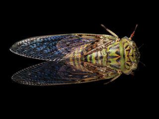 A wild cicada from Equatorial Guinea
