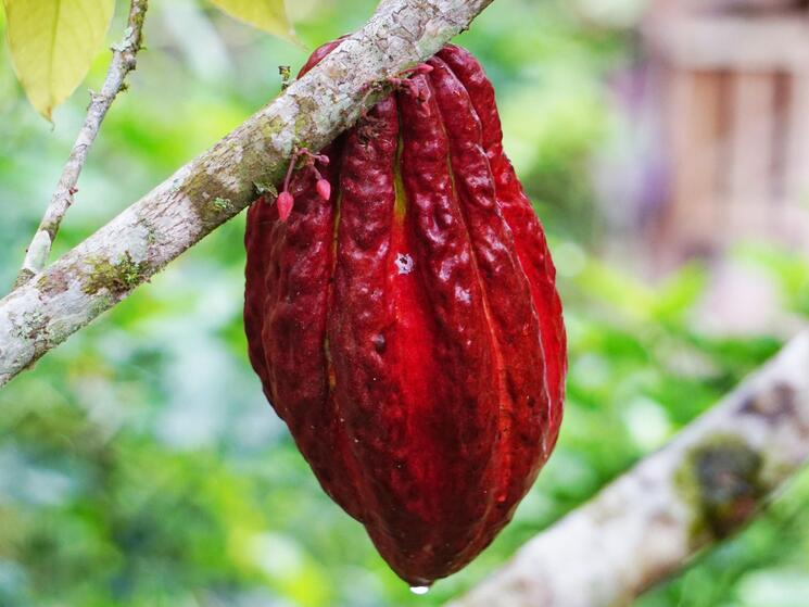 Large cocoa pod on cocoa tree