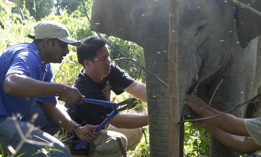 Collaring Bornean pymy elephant