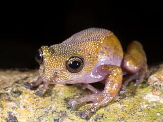 color changing thorny frog