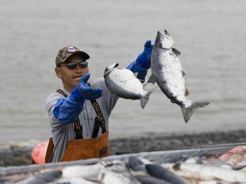 Commercial setnetters pick sockeye salmon from their setnets