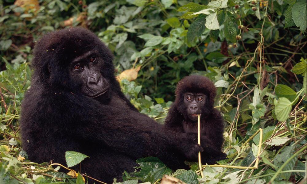 Congo Basin Gorilla