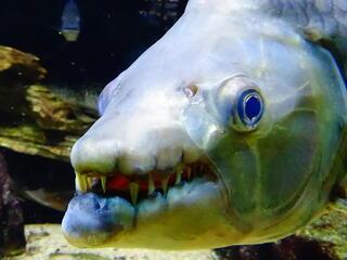 congo goliath tiger fish