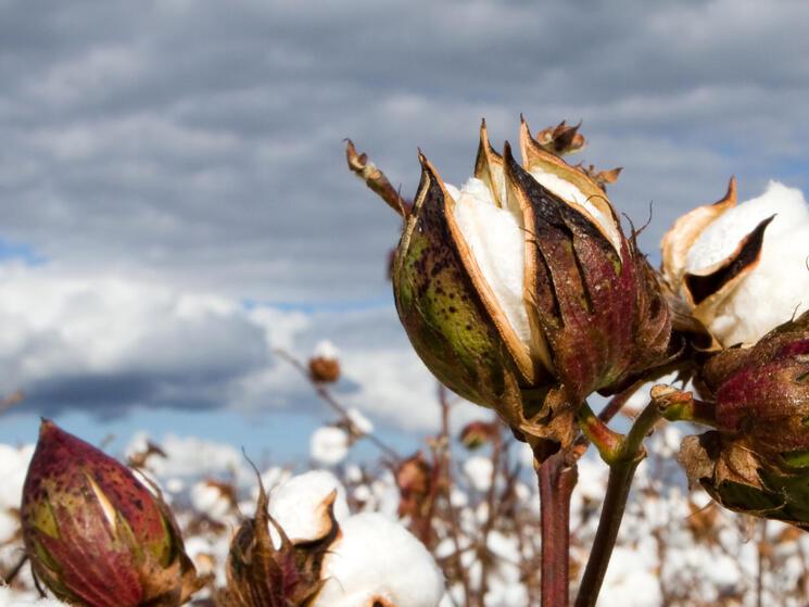Cotton bolls in field