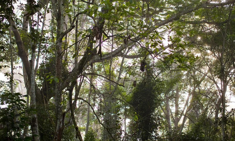 Cross river gorilla habitat