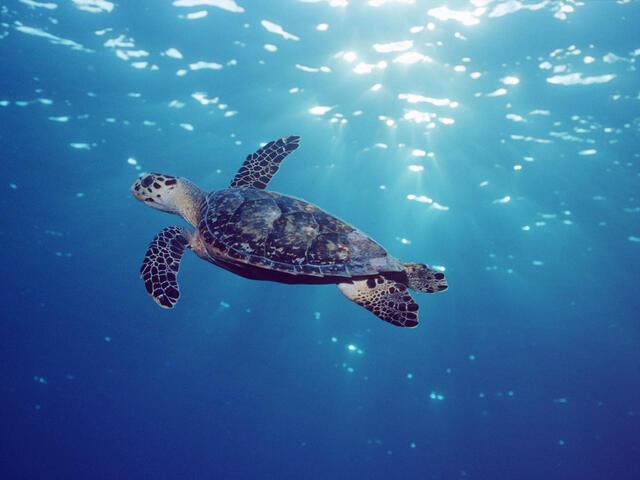 Hawksbill turtle swimming in Grand Cayman
