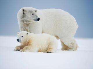 polar bears rest on an ice pack