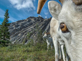 A Dall sheep looks closely into the camera lens while another stands behind it