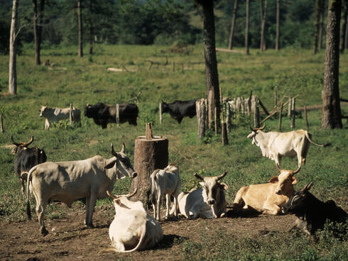 Deforestation for cattle ranching in the Amazon
