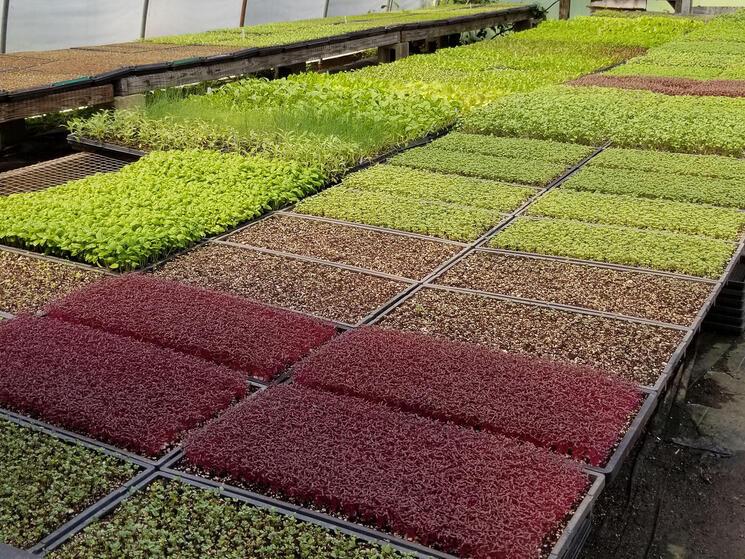 Food crop seedlings