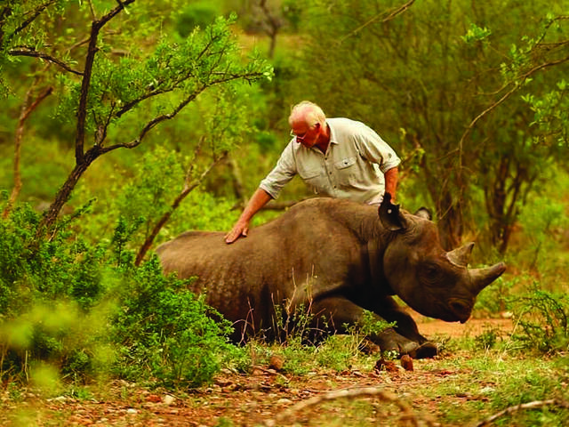 A man touching a black rhino that is waking up after being sedated