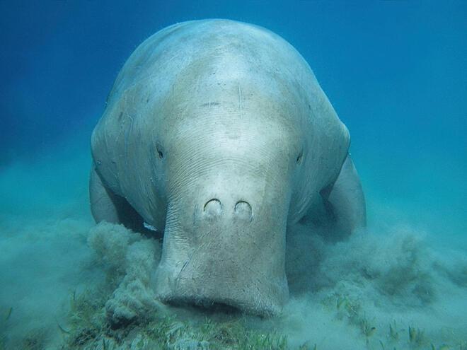 Portrait of dugong underwater