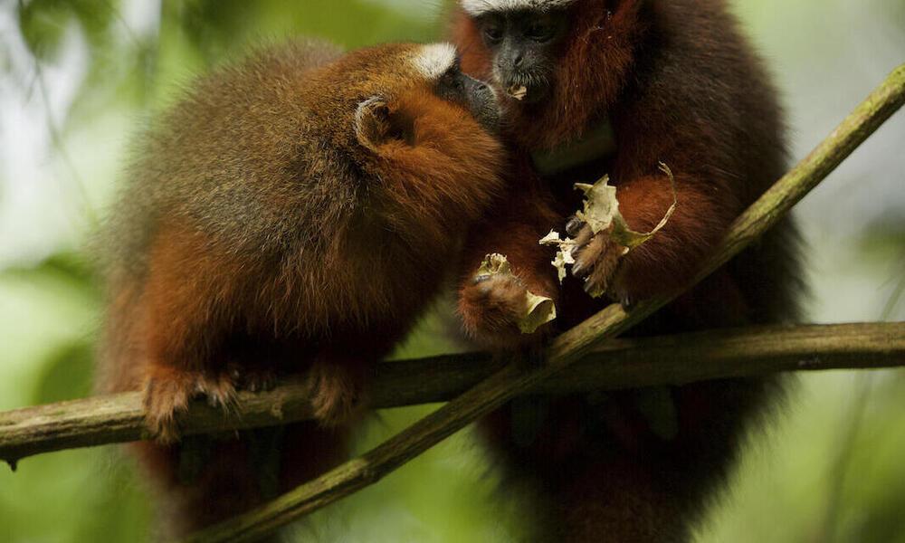 Dusky Titi Monkeys (Callicebus discolor) feeding