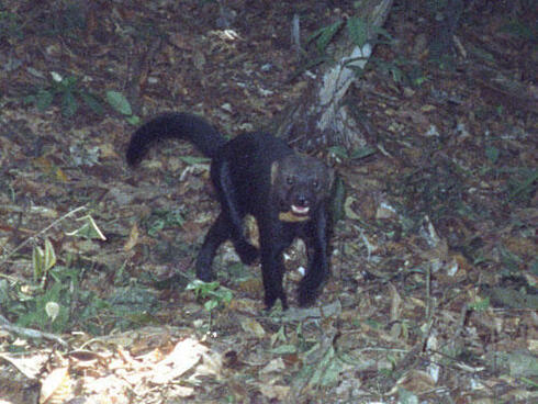 Tayra or long-tailed weasel
