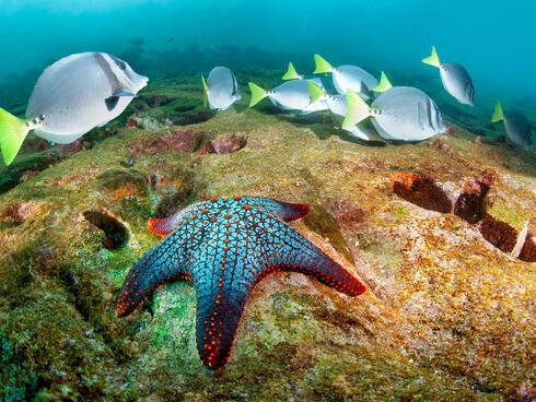 sea star and razor surgeonfish
