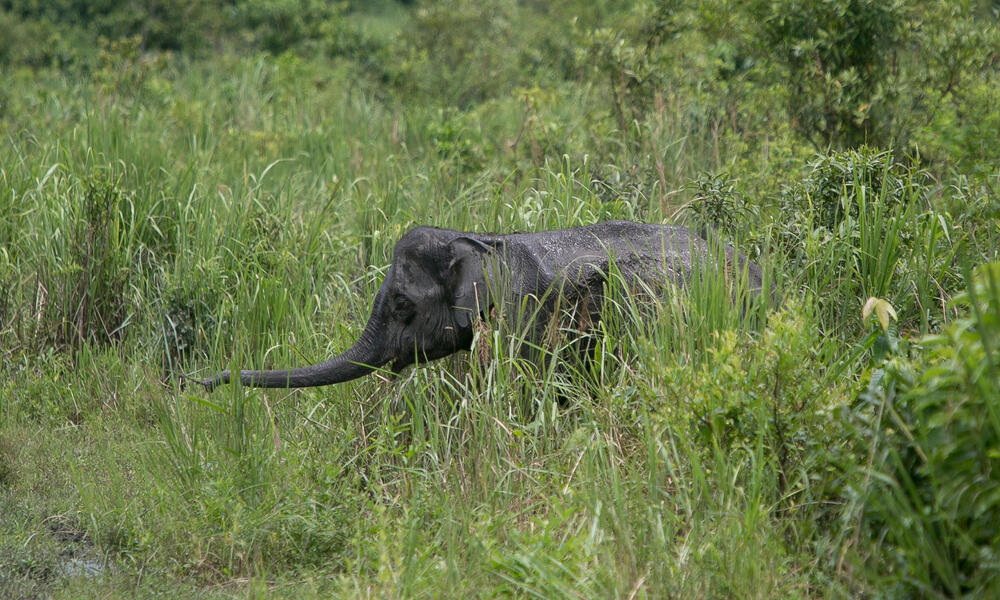 An elephant sticks out its trunk in the grass