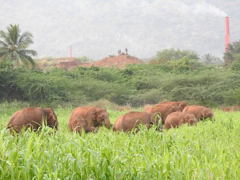 A herd of elephants eat from a field of bright green crops
