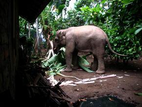 Wild Elephant Entering Kacapura Village