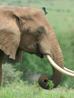 Sideview of an elephant with a bird on its trunk.