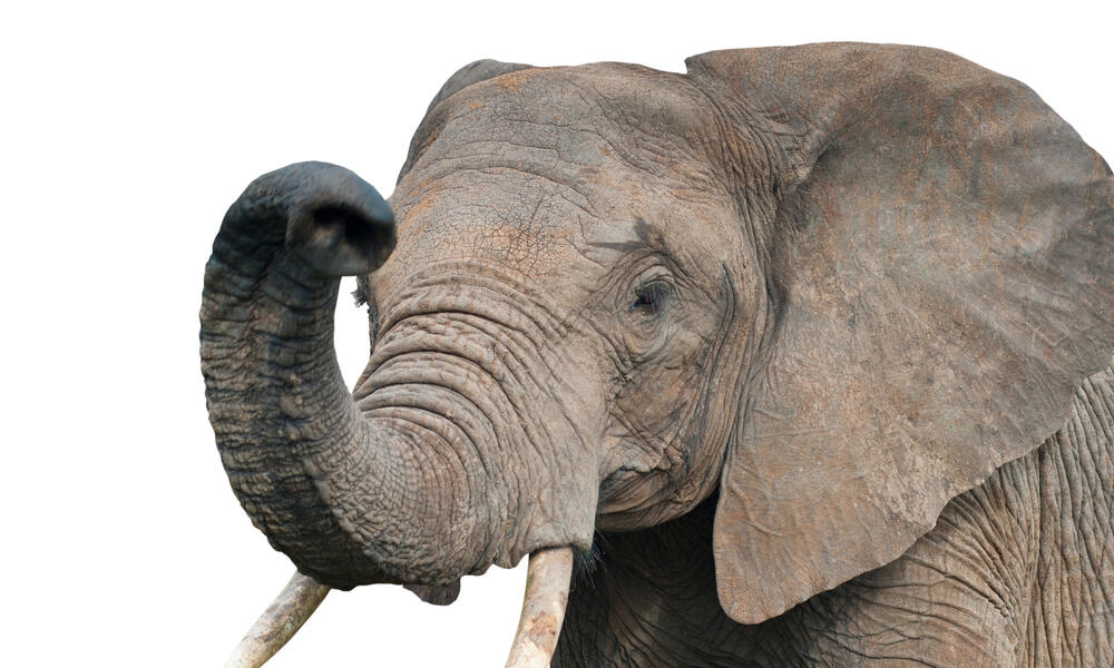 African elephant on a white background