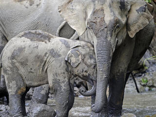 Elephant and calf in river