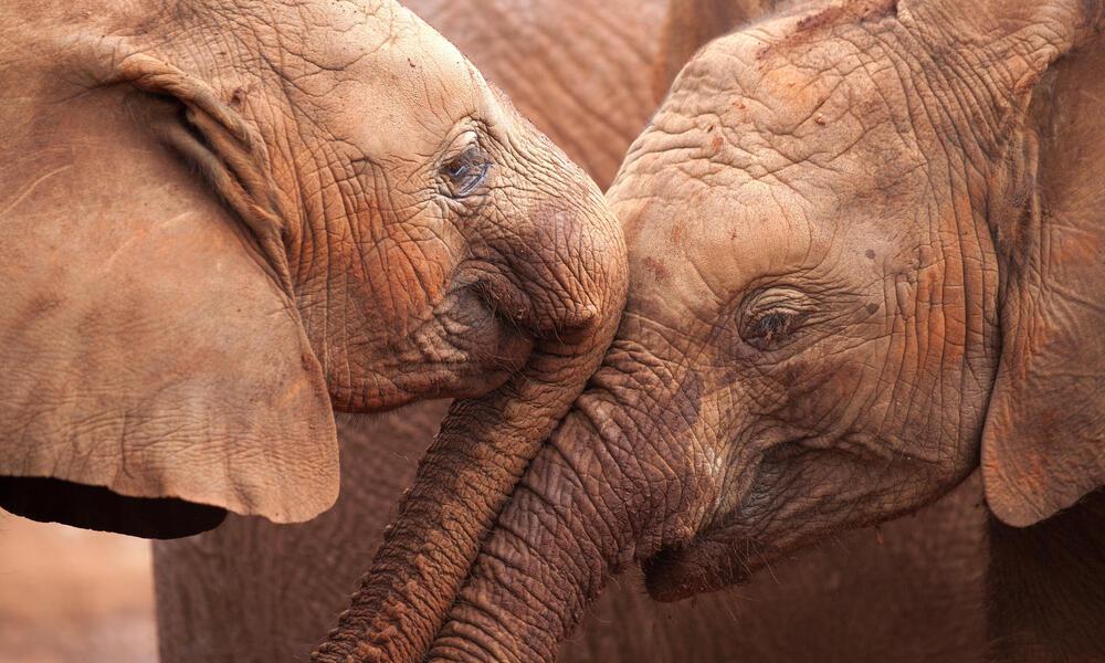 Elephants close