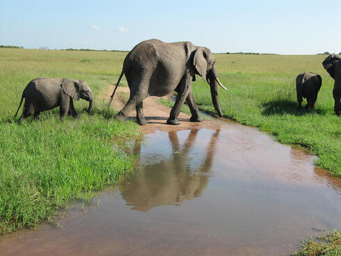 Elephants and their young walking