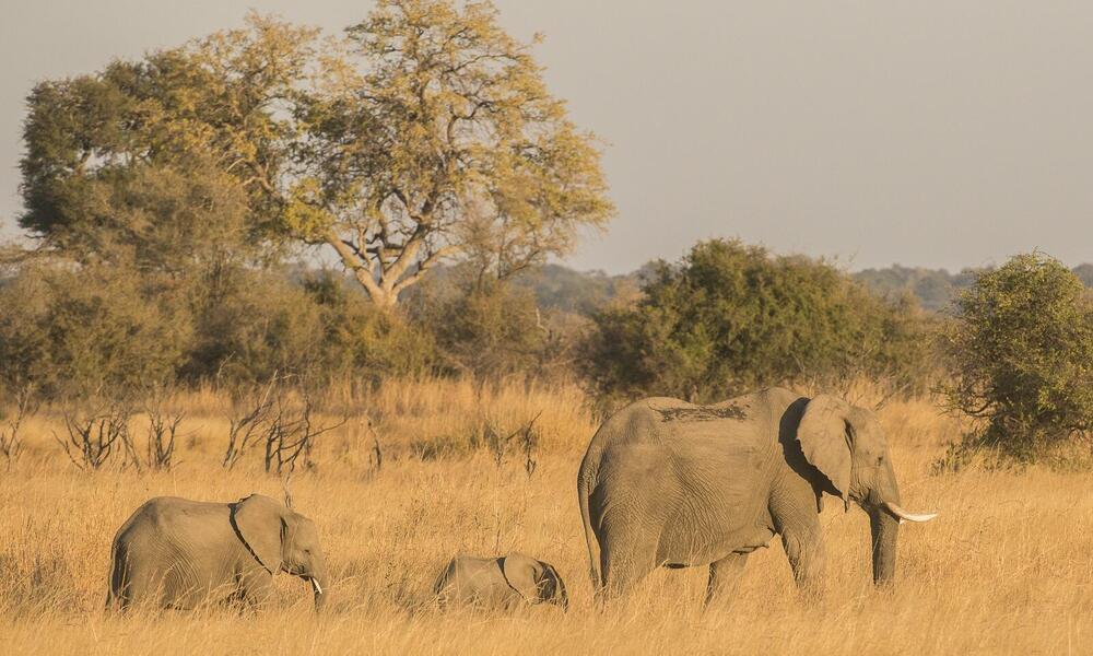 Elephants walking in KAZA
