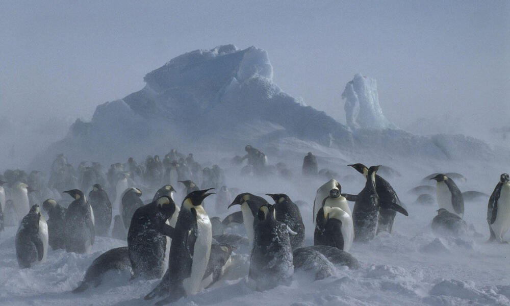 Emperor penguin adults and chicks weathering out a snow storm.
