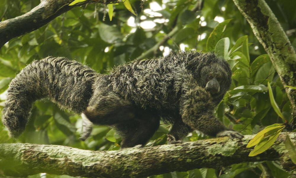 Equatorial Saki (Pithecia aequatorialis) at the Tiputini Biodiversity Station