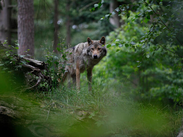 A lone adult wolf surrounded by trees in a wooded area