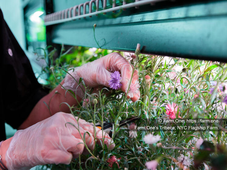 A staff member tends to a row of plants in Farm.One's Tribeca, NYC Flagship Farm.