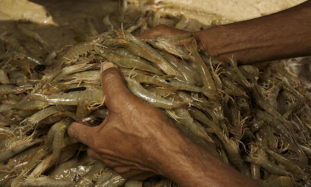 Farmed Shrimp