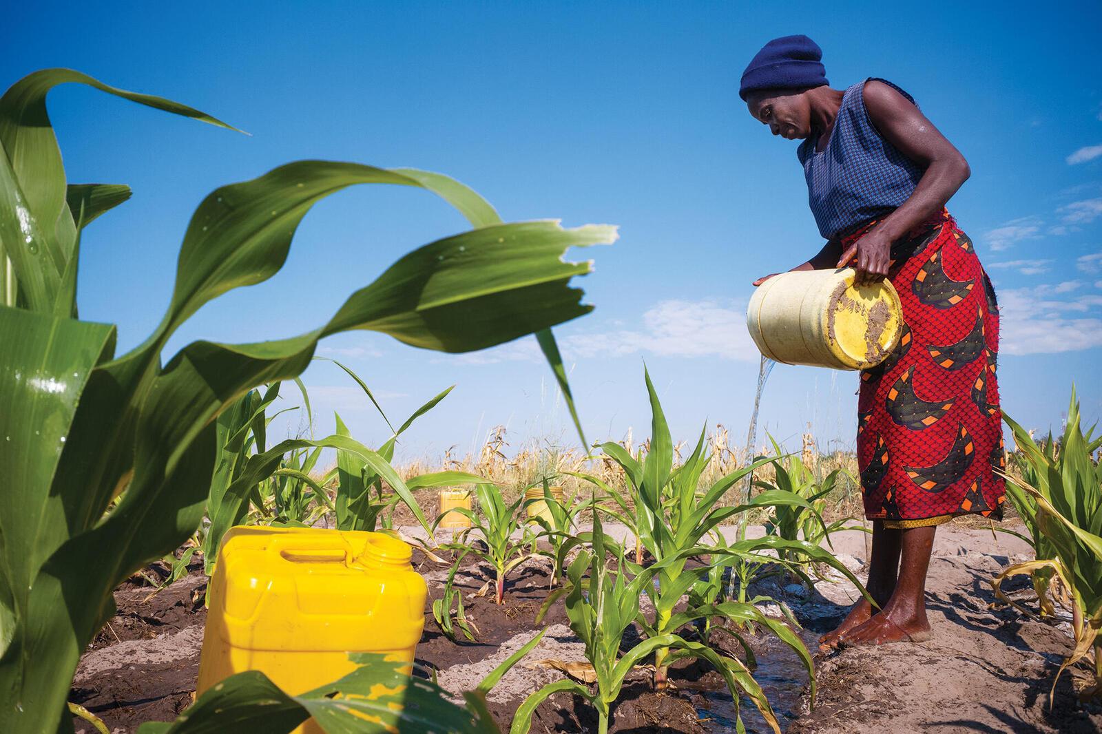 Zambian farmer pouring water over crops