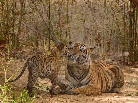 Cub greeting father tiger