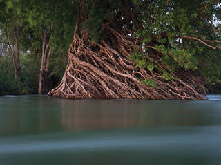 Mangrove roots on riverbank