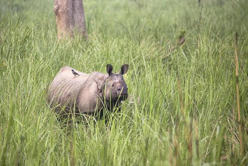 Female rhino in Chitwan National Park, Nepal