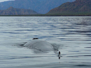 Fin whale surfaces, exposing its blowhole and dorsal fi